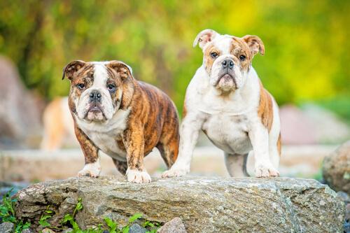 bulldog-inglese-2