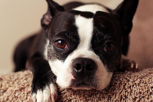 Allergia nei cani: quali sono i sintomi?