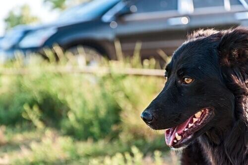 Cani e veicoli in movimento