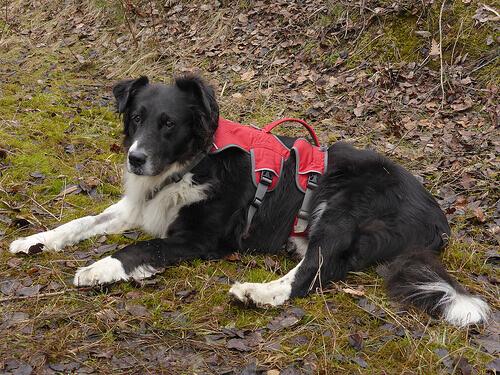 Protesi per la cagnolina che perse tre zampe