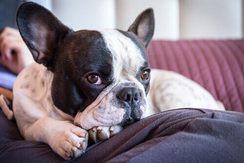 cane sul cuscino