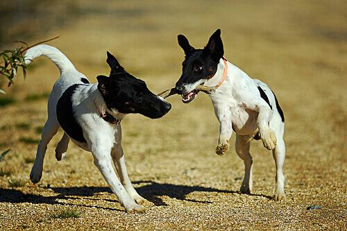 cani-giocando