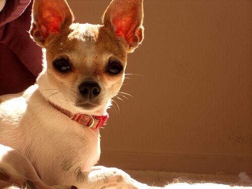 Chihuahua salva la vita a un cane gigante