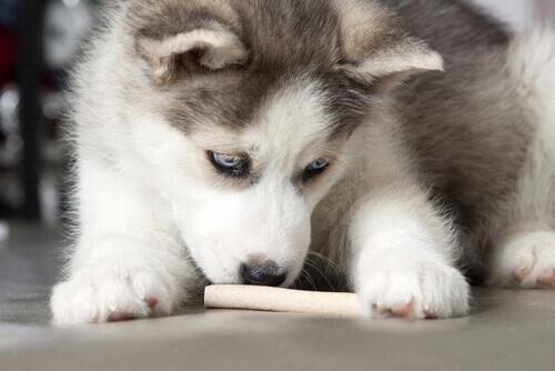 cucciolo di hasky mangia