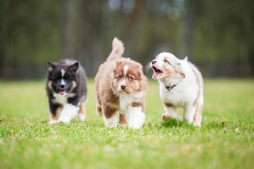 cuccioli-cani