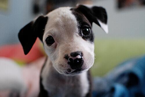 cucciolo-pitbull