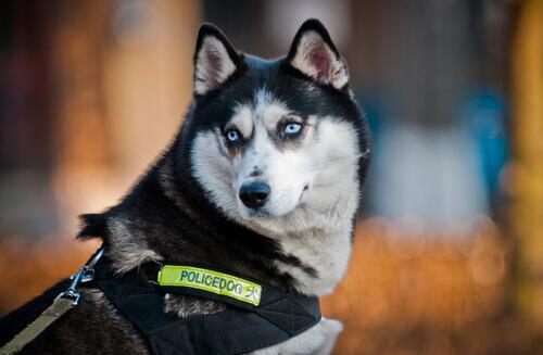 husky cane poliziotto