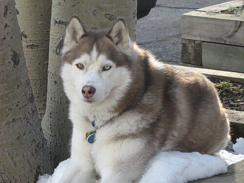 husky-siberiano (1)