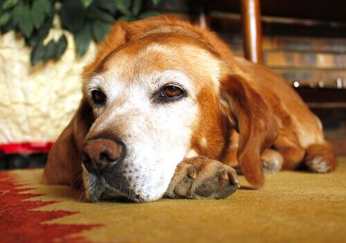L'osteoartrosi canina