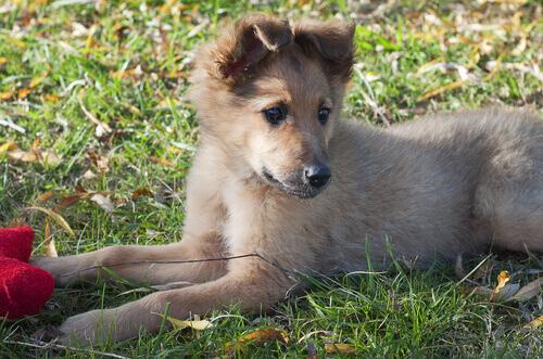 Cane da pastore basco, una razza poco conosciuta