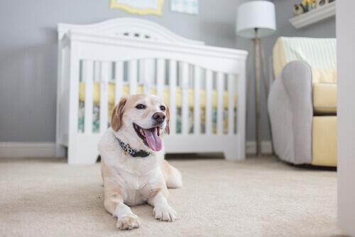 Cagnolina gravida e lettino