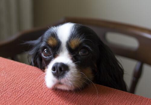 Cosa fare se il cane chiede cibo a tavola?