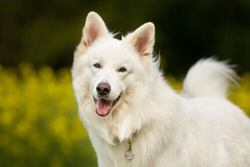 cane contento