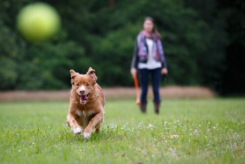 cane insegue palla sul prato