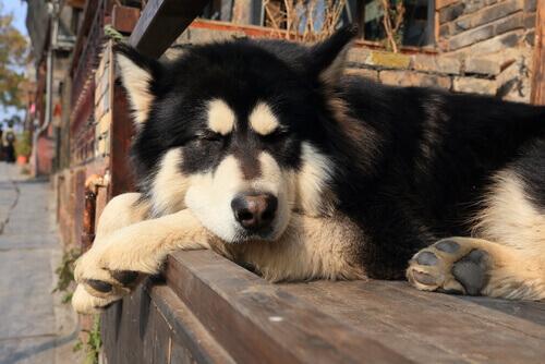 cane nero e bianco ha bisogno di dormire