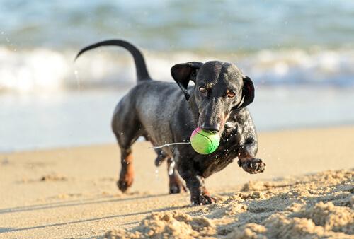 bassotto gioca con la pallina sulla spiaggia