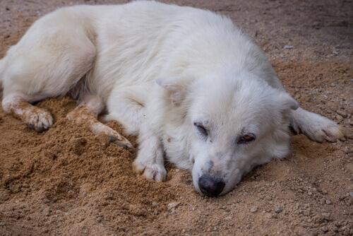 cane bianco dorme sulla sabbia