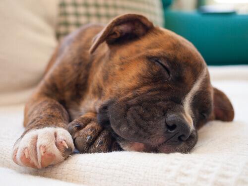 cucciolo di cane dorme placidamente