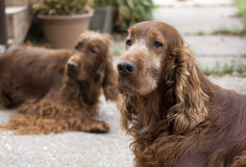 Come aiutare i cani a sopportare la vecchiaia?