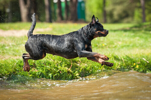 Le migliori razze di cani da difesa