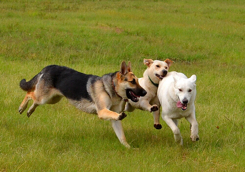 cani-giocano-sul-prato