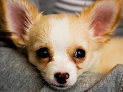 Il Chihuahua: un piccolo amico