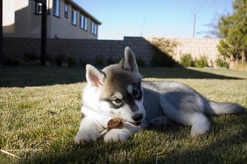 cucciolo di husky mangia