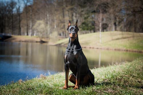 Che cos'è un cane da difesa?