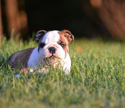 bulldog mangia erba