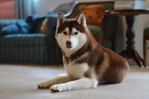husky-siberiano (3)