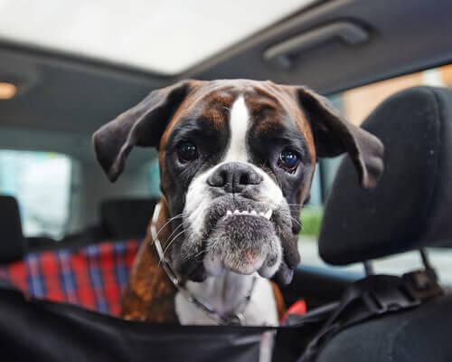 L'ipotiroidismo del cane
