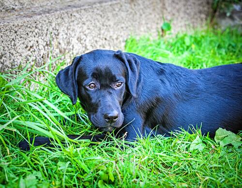 Duke-labrador-nero