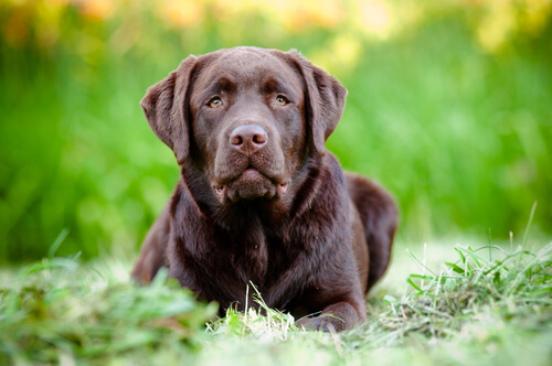 labrador-retriever-marrone