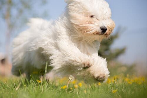 cane bianco corre sul prato