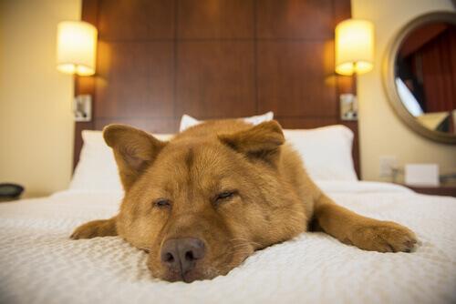 cane dorme sul letto