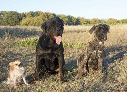 Un Rottweiler salva un Chihuaua da un coyote