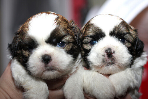 shih-tzu-cuccioli