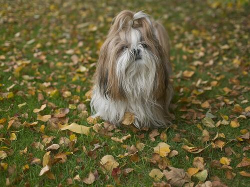 Lo Shih Tzu, un cane del Tibet