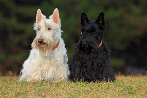 Terrier: cani molto divertenti