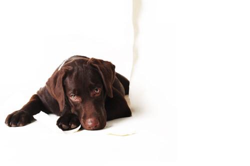 cane marrone triste