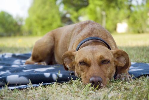 cane adulto si riposa sull'erba