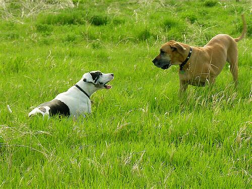cani in procinto di attaccare sul prato