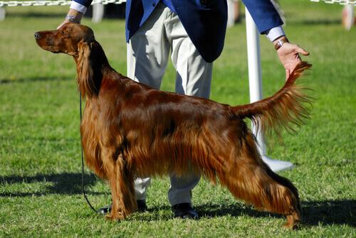 Come funzionano i concorsi di bellezza per cani