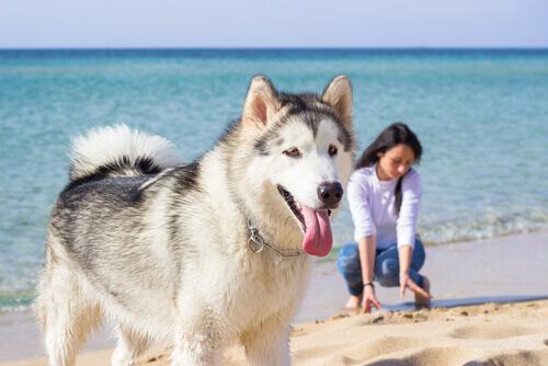 husky e ragazza al mare