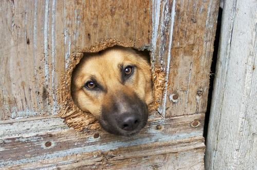cane con la faccia nella porta