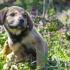 cane si gratta a causa dei pidocchi