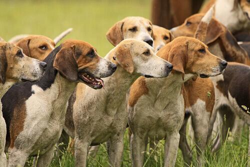 I cani del maharaja