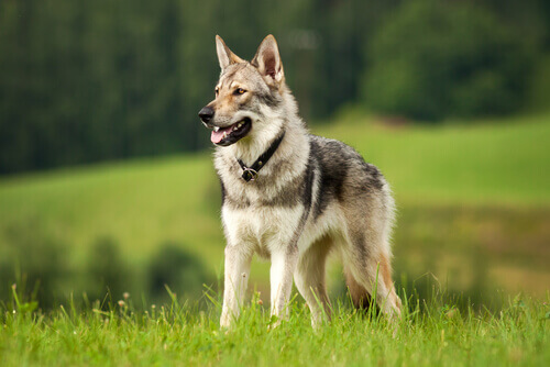 Differenze e similitudini tra cani e lupi