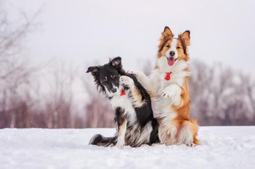 cani giocano sulla neve