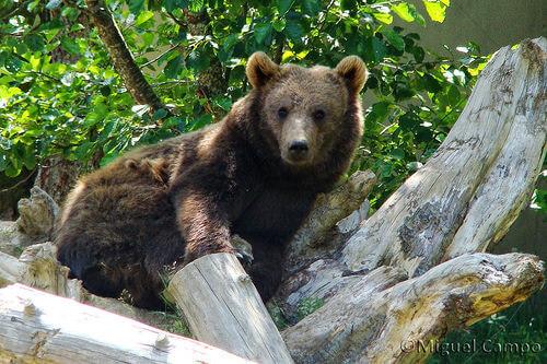 orso del Vietnam